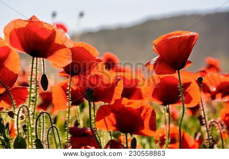 Poppy Flowers Field Close Up. Beautiful Summer Background