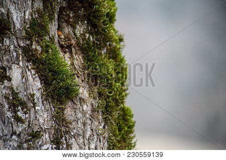 Tree With Moss On Roots In A Green Forest Or Moss On Tree Trunk. Tree Bark With Green Moss. Azerbaij