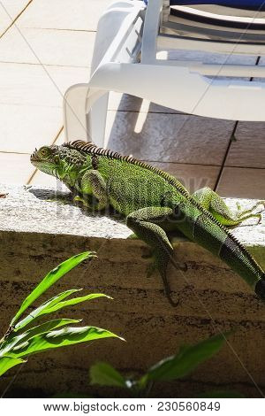 Green Cute Iguana Sitting On The Stone Wild Animal Looking Like Small Dragon On The Exotic