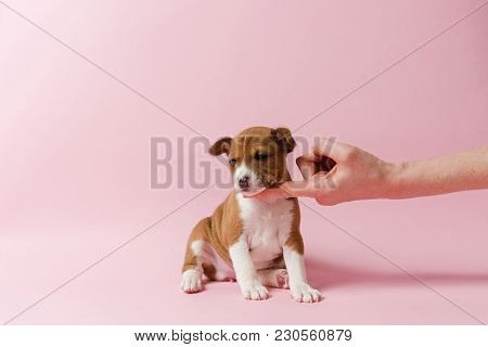 Small Cute Dog At Pink Isolated Background. Human Hand Support Chin Of Basenji Puppy.
