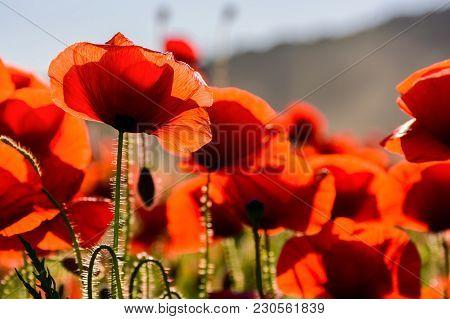 Poppy Flowers Field Closeup. Beautiful Summer Background