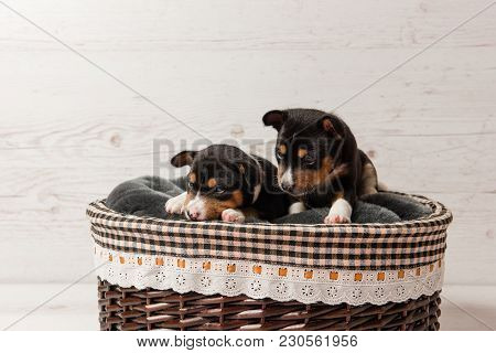 Couple Of Little Dogs Laying At Studio Background. Two Basenji Tricolor Puppies In Basket.