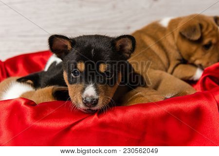 Studio Portrait Of Small Tricolor Dog In Red Basket