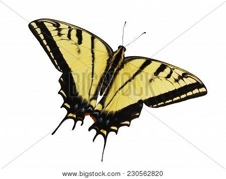 The Two-tailed Swallowtail Butterfly, Papilio Multicaudata, Isolated On White Background. The Larges
