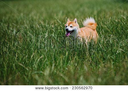 Close Up On Shiba Inu Dog On Grass