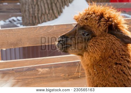 Alpaca At The Zoo. Red Hair. Winter Day. Vicugna Pacos