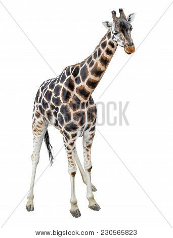 Young Giraffe Standing Full Length Isolated On White Background. Funny Walking Giraffe Close Up. Zoo