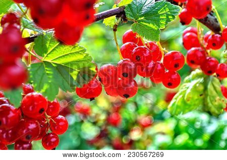 Close-up Of A  Red Currant In The Fruit Garden, Backlit