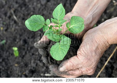 Close-up Of  Potato Seedling In The Gardener Hands Before The Transplantation