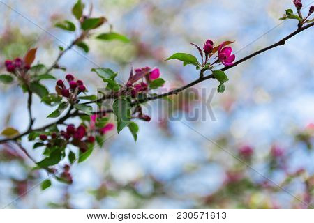 Spring Blur Bokeh Background With Apple Or Cherry Tree Blooming Branch With Gentle Pink Flowers