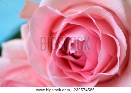 Close Up Of A Beautiful Varietal Pink Rose