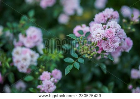 Rosarium With Pink Roses On Flower Bed. Background Of Many Roses.