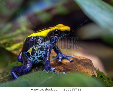 Blue And Yellow Brazilian Poison Dart Tree Frog (dendrobates Tinctorius)