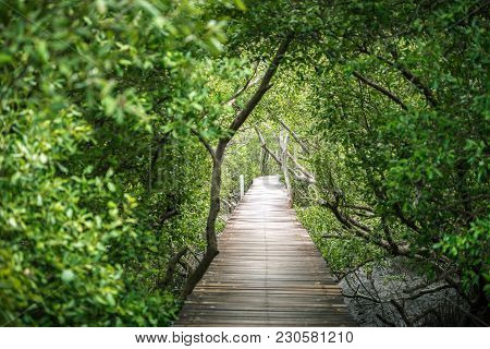 Wooden Bridge Of Walkway Inside Tropical Mangrove Forest Covered By Green Mangrove Tree.