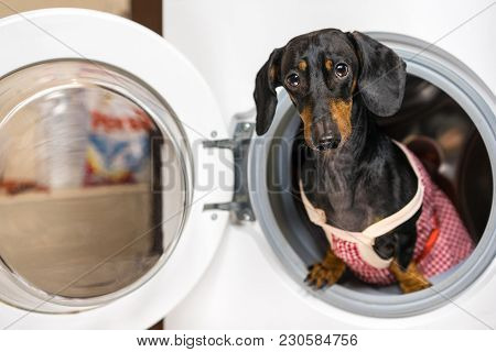 Adorable Dog Breed Of Dachshund, Black And Tan, Looking From Washing Machine.  Laundry And Dry Clean