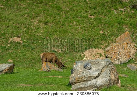 Amazing Animals - Marals With Horns In The Preserve
