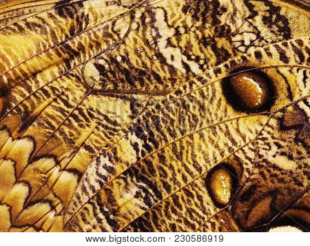 A Fragment Of A Wing Of Butterfly A Forest Giant Owl Butterfly, Caligo Eurilochus. Butterfly Wing Is