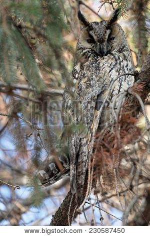 Long-eared Owl Sitting On The Branches Of Spruce. Beautiful Image Of The Owl. Wildlife Scene From Th