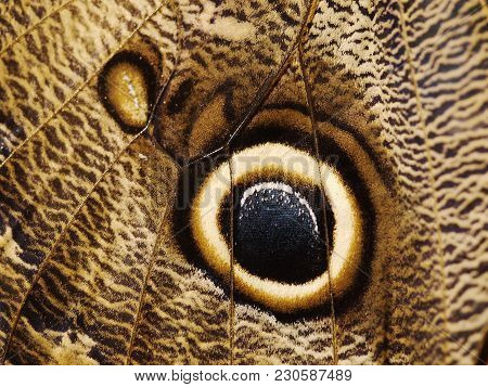 A Fragment Of A Wing Of Butterfly A Forest Giant Owl Butterfly, Caligo Eurilochus. The Wing Is Brown
