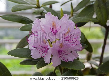 Beautiful Blooming Rhododendron Of The Karlis Species.