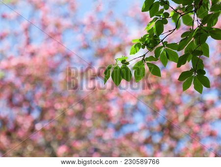 Spring Blur Pink And Blue Bokeh Background With Blooming Tree And Green Branch With Leaves