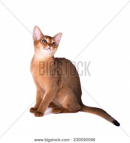 Purebred Abyssinian Cat Isolated On White Background. Cute Playful Kitten Isolated.