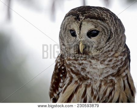 Close Up Image Of A Barred Owl
