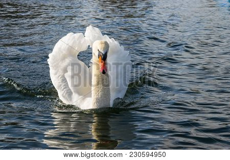 Mute Swan - Cygnus olorIn swimming in lake water water in Hyde Park, London poster
