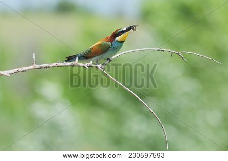 European Bee-eater (merops Apiaster) Raised Its Beak With The Caught Wasp.