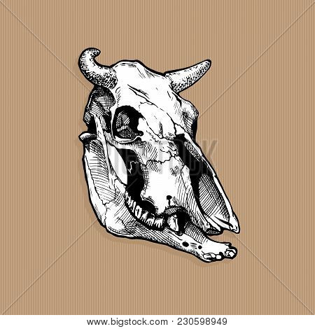 Vector Illustration Of Bull And Cow Skull Stylized As Engraving On Kraft Paper Background. Three-qua