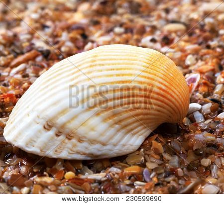 Seashell On Wet Sand At Beach. Close-up View.
