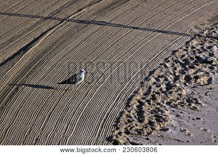 Lonely Seagull On Cleaned By A Tractor Sand On The Mediterranean Beach In The Morning. Azure Shore,