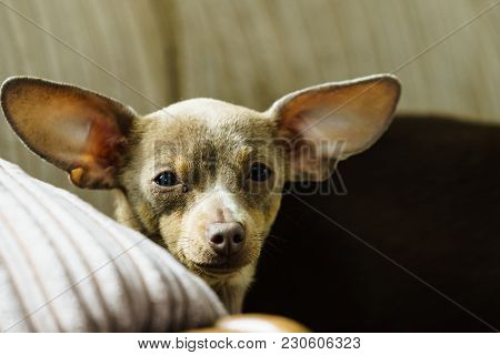 Little Pinscher Ratter Prazsky Krysarik Purebreed Small Dog Sitting Relaxing And Chilling On Sofa Co