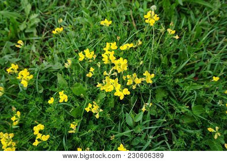 Birdsfoot Trefoil (lotus Corniculatus) Blooms Close To The Ground In Crest Hill, Illinois, During Ju