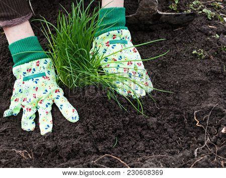 woman's hands planting chives in garden in early spring - healthy lifestyle - gardening