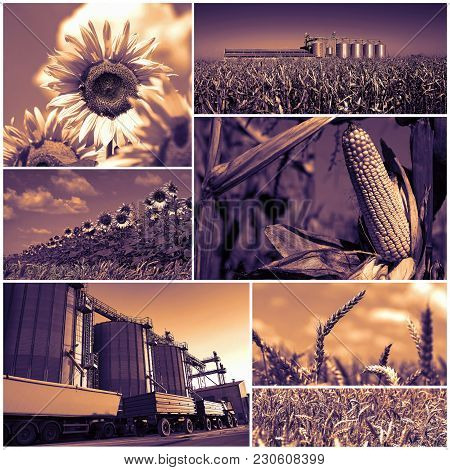Agricultural Crops .collage Of Photographs Showing Agricultural Crops In Cultivated Agricultural Fie