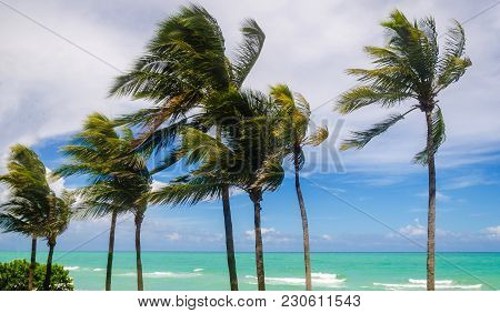 Tropical Palm Trees On The Miami Beach, Windy Weather, Florida, Usa