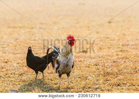 Chicken Flocks In Farm Lawns In The Early Morning Sun.