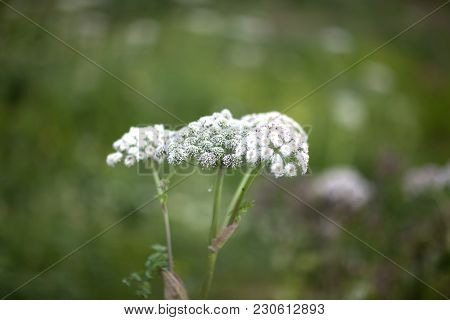 Angelica Is A Genus Of About 60 Species Of Tall Biennial And Perennial Herbs In The Family Apiaceae,