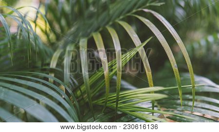 Texture Of The Leaves Of The Palm Close-up. Wild Nature Of Thailand