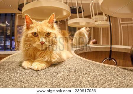 Tokyo, Japan - April 17, 2017: Close-up Of Turkish Angora Cat Sitting Inside Of Cat Cafe Mocha In Sh