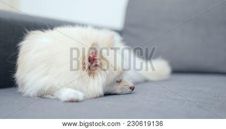 Pomeranian dog sleeping on sofa