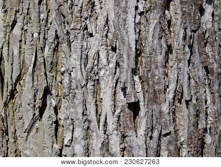 Scaly Texture Of Shagbark Hickory Tree Trunk Bark