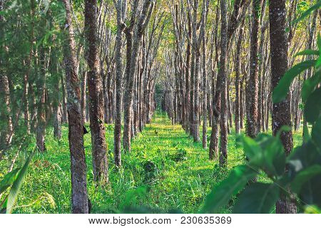 Rubber Forest In Thailand, Phuket. Plantation Of Trees Growing In A Row.