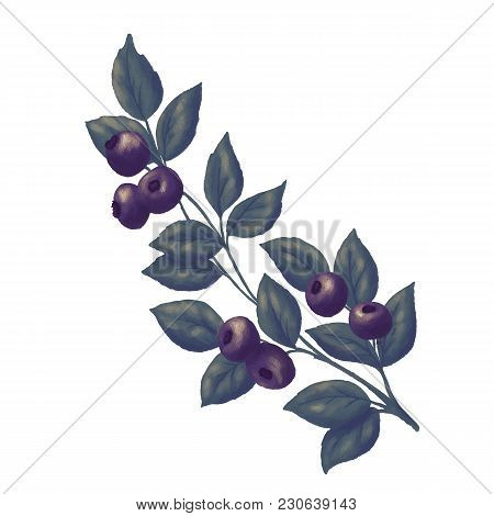 Blueberry Branch And Green Leaves. Vector Illustration. Blue Bilberry Fresh And Juicy For Design Of