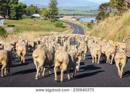 Heard Of Merino Sheep On Rural Road In New Zealand