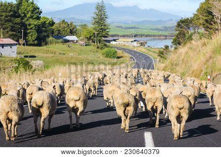 Merino Sheep On Rural Road In New Zealand