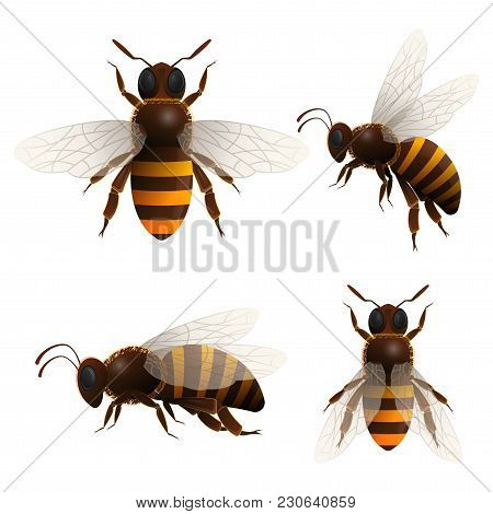 Honeybee Isolated Set On White Background. Striped Flying Bee In Front And Side View Vector Illustra