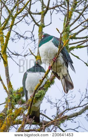 Pair Of Native New Zealand Wood Pigeon Perched Together In Tree