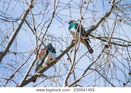 Pair Of New Zealand Wood Pigeon Perched In Tree.